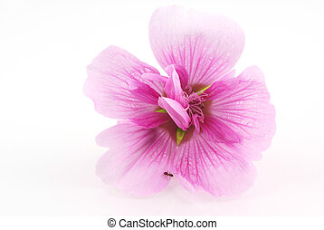 Pink hollyhock. - Little ant on a pink hollyhock, isolated...