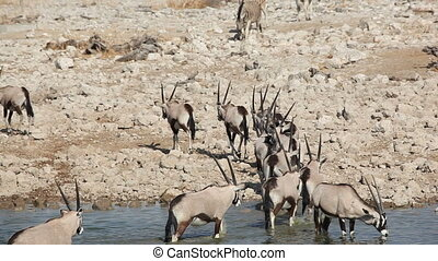 Gemsbok antelopes at waterhole - Gemsbok antelopes (Oryx...