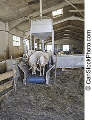 Sheep in stable surrounded by straw, livestock and...