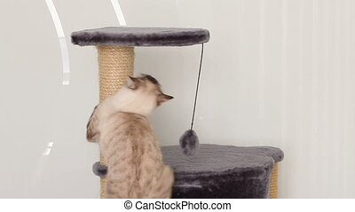Thai cat jumps