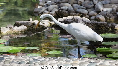 Average white Heron (Mesophoyx intermedia) in an artificial...