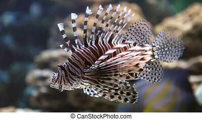 Zebra lionfish Pterois volitans in an aquarium