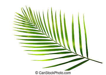 green leaf of palm tree isolated on white