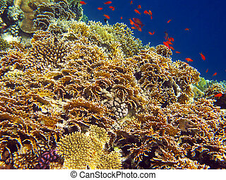 Net fire coral