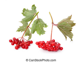 Guelder-rose berries (viburnum) are isolated on a white...
