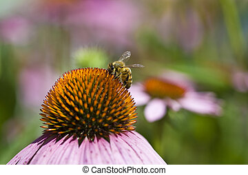 Bee on Flower - Closeup of Bee on Purple Coneflower