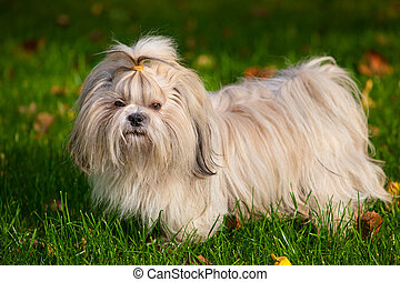 Shih tzu dog on grass