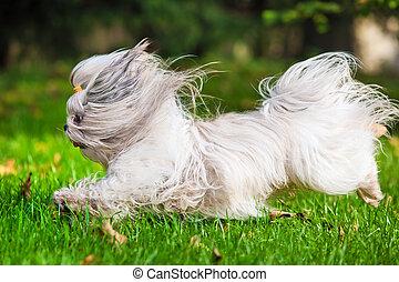 Shih tzu dog running in garden.
