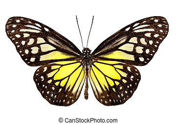 Butterfly species Parantica aspasia common name Yellow...