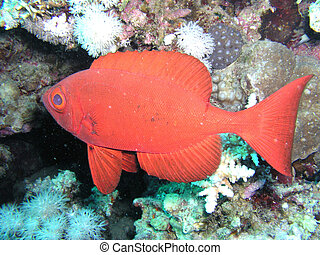 Red Small fish