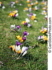 Spring holiday crocus flowers on grass