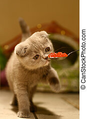 Cat Gourmet - scottish fold Cat Gourmet like to eat Caviar