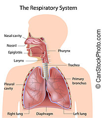 el, respiratorio, Sistema, rotulado