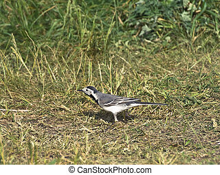 wagtail - Single wagtail standing at the green grass