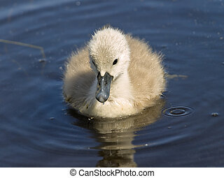 baby swan - little baby swan on the blue water