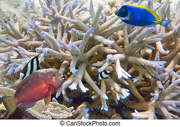 Fishes in corals Maldives