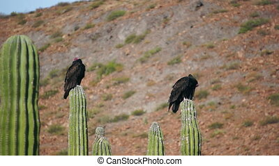 Two Turkey Vultures Cleaning - Two turkey vultures roosting...
