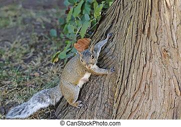 Curious cute grey squirrel