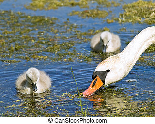 Swan family swimming at the water