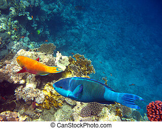 Parrot fishes