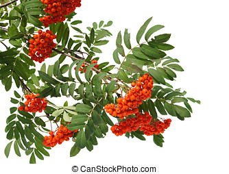 Branches of Mountain ash berries are isolated on a white...