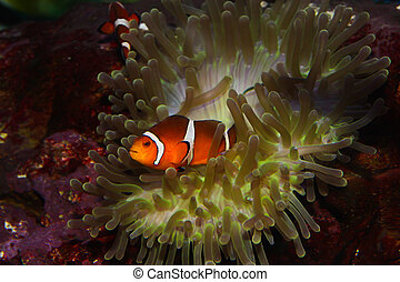 anemonefish ndash; clownfisch - anemonefish – clownfisch