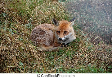 Fox, Red FR Vulpes v - Trying to sleep here in Southern...
