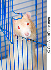Small red curious rat
