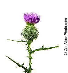 Milk Thistle - Milk thistle flower plant isolated on white...