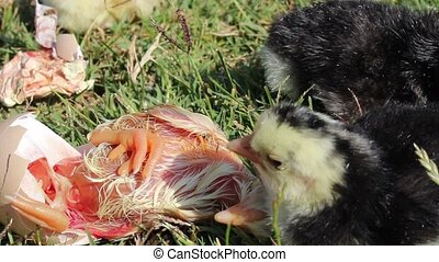Chick hatching - hatched chick is a documentary image,