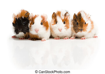 Four guinea pigs together in row looking in camera