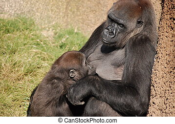 Mother Gorilla - A mother Western Lowland Gorilla nursing...
