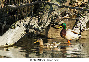 Wild ducks in Dutch nature