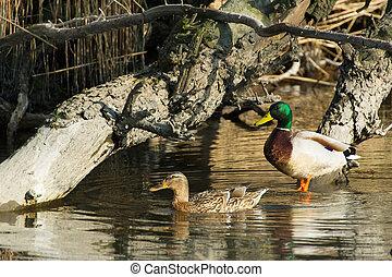 Wild ducks in Dutch nature
