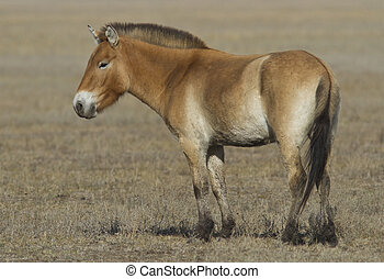 Young Przewalski horse in steppe. - Young Przewalski horse...