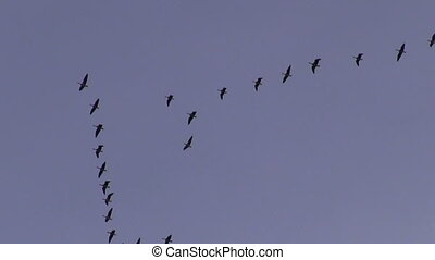 cranes( Grus grus) birds flight