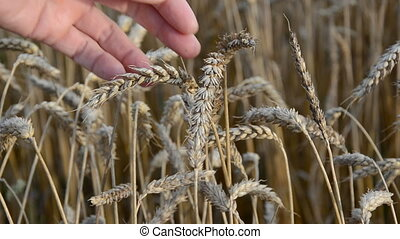 farmer looking wheat condition - farmer with vintage...