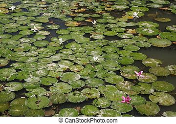 Lilly Pads - Botanical Gardens, Singapore
