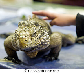 Iguana in an Indoor Setting with Childs Hand Petting