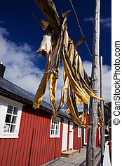 Dried stockfish on Lofoten - Dried stockfish hanging in...
