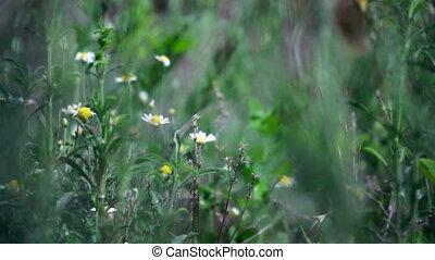 Chamomile field