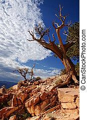 Dead tree - Grand canyon, Arizona USA