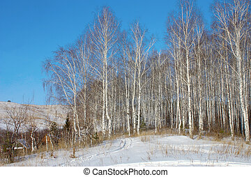 Winter landscape with birch grove