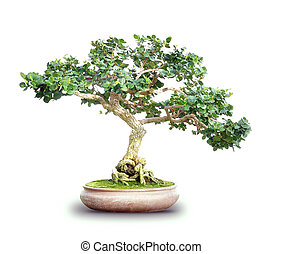 Small Bonsai Tree Isolated on White - A small bonsai tree is...