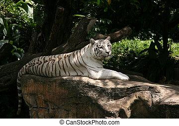 Tiger - Singapore Zoo, Singapore