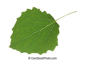 aspen leaf closeup isolated
