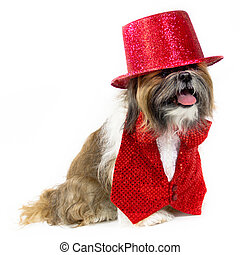 Dog in a Red Party Costume - A sporty Shih Tzu is dressed in...