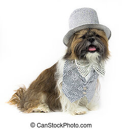 Dog in a Silver Party Outfit - A happy Shih Tzu is dressed...