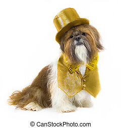 Dog in a Gold Party Outfit - A jazzy Shih Tzu is dressed in...