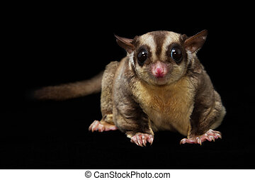 Sugar glider against a black background